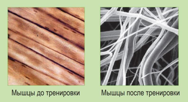 мышечные волокна до и после тренировки